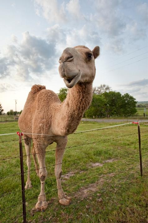 3-5-14 Camel